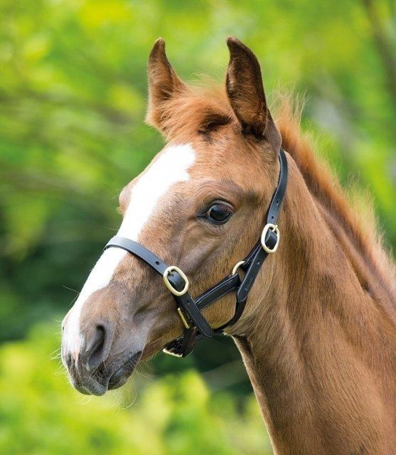 Shires Shires Adjustable Foal Headcollar